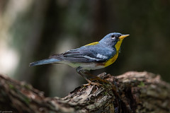 Northern Parula (grobinette) Tags: northernparula parula neotropical warbler cocanal