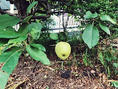 182/365 (moke076) Tags: food tree apple nature fruit growing oneaday mobile project cellphone cell photoaday 365 iphone 2019 project365 365project