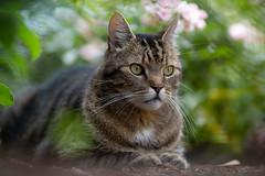 A visitor in our garden (VintageLensLover) Tags: katzen haustiere tiere natur garten getigertekatzen bokeh dof schärfentiefe schärfeverlauf shallowdepthoffield sigma135mm sonya7iii cats katzenliebe catlovers