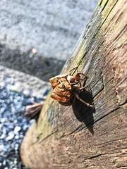181/365 (moke076) Tags: abandoned nature cicada shell pole exoskeleton exuvia oneaday mobile project cellphone cell photoaday 365 iphone 2019 project365 365project