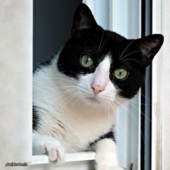 Un veí a la finestra.....Un vecino den la ventana. (AviAntonio) Tags: gat finestra calor esguard ulls gato ventana mirada ojos