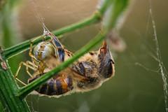 Gluttony (Fujibert) Tags: abend pflanze spinne insekt stimmung tier biene spinnenweb objekt lichtstimmung omnomnom plant macro insect evening spider bee makro