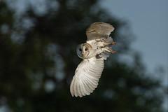 Barn Owl (robin elliott photography) Tags: barnowl barnowls owl owls bird birds birwatch nature photography wings feathers white talons