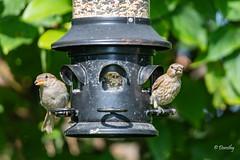 Female House Sparrow and House Finch (Jersey Camera) Tags: bird birds femalehousesparrow finch finches housefinch housefinches housesparrows sparrow sparrows