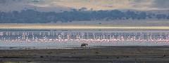 (Markus Hill) Tags: arusha tansania canon 2019 safari travel tanzania africa afrika eastafrica ostafrika nature hyäne hyena flamingo ngorongoro crater lake