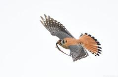 Flight series - Kestrel with prey #2 (vijay_SRV) Tags: birdsofnorthamerica birdsofoklahoma birdsofprey kestrel americankestrel falcosparverius