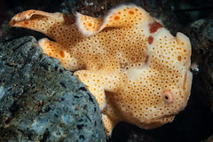 Creamy painted frogfish (Luko GR) Tags: dauin philippines visayas negros diving underwater muck macro critter frogfish anglerfish