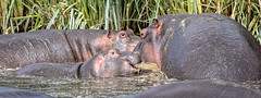 Family (Markus Hill) Tags: arusha tansania canon 2019 safari travel tanzania africa afrika eastafrica ostafrika nature hippo nilpferd flusspferd ngorongoro crater