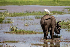 (Markus Hill) Tags: arusha tansania africa travel bird nature canon tanzania buffalo safari ngorongoro crater afrika vogel eastafrica ostafrika 2019 büffel