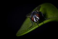 Fly (Jorge Morán Fotografía) Tags: macro fly mosca nature naturaleza 100mm canon100mm canon color dark