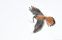 Flight series - Kestrel with prey #3 (vijay_SRV) Tags: birdsofnorthamerica birdsofoklahoma birdsofprey kestrel americankestrel falcosparverius