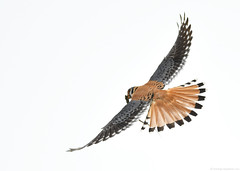 Flight series - Kestrel with prey #1 (vijay_SRV) Tags: birdsofnorthamerica birdsofoklahoma birdsofprey kestrel americankestrel falcosparverius