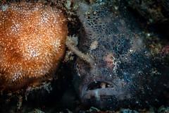 Spotfin frogfish (Luko GR) Tags: dauin philippines visayas negros diving underwater muck macro critter frogfish anglerfish