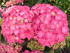 Hortensien (Hannelore_B) Tags: blume flower hortensie hydrangea rosa pink