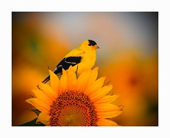 Goldfinch and Sunflowers (George McHenry Photography) Tags: birds songbirds finches goldfinch americangoldfinch southcarolinabirds southcarolina