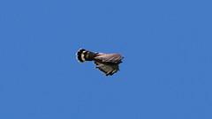 Headless Hawk (blazer8696) Tags: accipitridae accipitriformes bird broad broadwingedhawk buteo buteoplatypterus butplt bwha hawk platypterus raptor winged img0493 brookfield connecticut unitedstates 2019 ct ecw obtusehill t2019 tabledeck usa