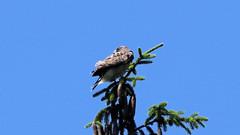 Broad-Winged Hawk (blazer8696) Tags: img0429 brookfield connecticut unitedstates 2019 accipitridae accipitriformes bird broad broadwingedhawk buteo buteoplatypterus butplt bwha ct ecw hawk obtusehill platypterus raptor t2019 tabledeck usa winged