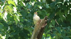 Looking Up (blazer8696) Tags: bellied bird carolinus melanerpes melanerpescarolinus melcar picidae piciformes rbwo red redbellied redbelliedwoodpecker woodpecker img0483 brookfield connecticut unitedstates 2019 ct ecw obtusehill t2019 tabledeck usa