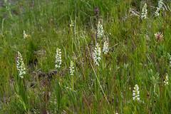 Platanthera dilatata var. dilatata (White Bog orchid) (jimf_29605) Tags: platantheradilatatavardilatata whitebogorchid clallamcounty washington orchids wildflowers sony a7rii 90mm olympicnationalpark