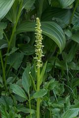 Platanthera huronensis (Tall Green Bog orchid) (jimf_29605) Tags: platantherahuronensis tallgreenbogorchid rainiernationalpark piercecounty washington sony a7rii 90mm orchids wildflowers