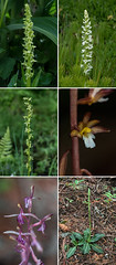 Orchids of Washington state - collage (jimf_29605) Tags: orchids washington sony a7rii 90mm