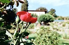 Saper ergersi (michele.palombi) Tags: negativocolore c41 tetenal colortec ektar100 kodak giardinodellerose tuscany film35mm florence analogicshot