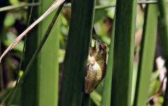 Vertical world (TJ Gehling) Tags: amphibian frog chorusfrog treefrog pacificchorusfrog pacifictreefrog pseudacris pseudacrisregilla plant poales cyperaceae tule bulrush schoenoplectus pond canyontrailpark elcerrito