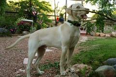 So innocent (twm1340) Tags: yellow lab labrador retriever dog puppy stuart lee dumbarton
