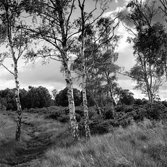 Birch trees - Strensall Common (jhotopf) Tags: