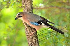 Gaig (Garrulus glandarius) (stv_ornitoloco) Tags: gaig arrendajo eurasianjay garrulusglandarius corvidae