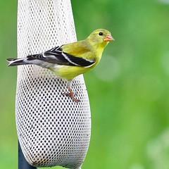 Grand Goldfinch (R.A. Killmer) Tags: goldfinch feathers backyard photography nikon d750 dof shallow yellow black beak beauty nature natural wildlife
