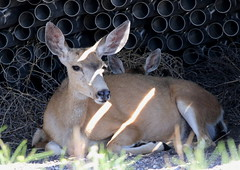 Mule Deer Doe And Fawn Resting In The Shade Of Irrigation Pipes (fethers1) Tags: rockymountainarsenalnwr rmanwr rmanwrwildlife coloradowildlife deer muledeer muledeerdoeandfawn