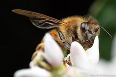 1-watermark (Brian M Hale) Tags: insect macro closeup close up outside outdoors nature tower hill botanic botanical garden boylston ma mass massachusetts new england newengland usa brian hale brianhalephoto bee honey honeybee