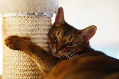 I just have to sleep... (DizzieMizzieLizzie) Tags: sony a7iii ilce7m3 fe 85mm 14 gm dof bokeh golden classic pose ilce chat gatos neko pisica meow kot katze katt gatto gato feline cat portrait dizziemizzielizzie lizzie aby abyssinian