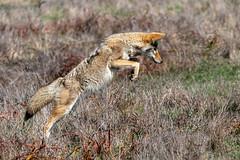 Pounce! (lennycarl08) Tags: animalplanet wildlife pointreyesnationalseashore coyote