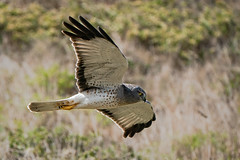 Low Level Hunter (lennycarl08) Tags: northernharrier hawk raptor grayghost pointreyes pointreyesnationalseashore