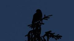 Dawn to Dusk (blazer8696) Tags: img0580 silhouette brookfield connecticut unitedstates 2019 accipitridae accipitriformes bird broad broadwingedhawk buteo buteoplatypterus butplt bwha ct ecw hawk obtusehill platypterus raptor t2019 tabledeck usa winged