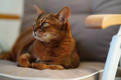 LizZie supervision (DizzieMizzieLizzie) Tags: sony a7iii ilce7m3 fe 85mm 14 gm dof bokeh golden classic pose ilce chat gatos neko pisica meow kot katze katt gatto gato feline cat portrait dizziemizzielizzie lizzie aby abyssinian