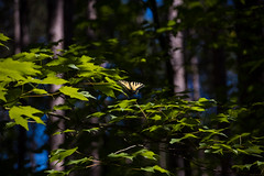 (cara zimmerman) Tags: manisteenationalforest butterfly leaves trees summer forest michigan tamron
