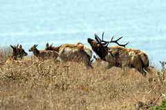 Boss of the Herd (lennycarl08) Tags: animalplanet wildlife pointreyesnationalseashore