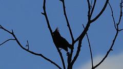 Bad Hair Day (blazer8696) Tags: img0609 silhouette brookfield connecticut unitedstates 2019 bird carcai cardinal cardinalis cardinaliscardinalis ct ecw noca northern northerncardinal obtusehill passeriformes songbird t2019 tabledeck usa
