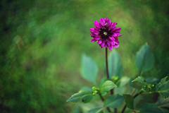 Dahlia (Sarah Rausch) Tags: dahlia fuchsia rikenon55mm14 sony bokeh flower