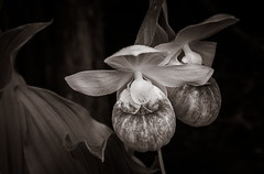 Showy Lady (Bert CR) Tags: bw orchid nature monochrome toned wildflower ladyslipper cypripediumreginae tonedblackandwhite showyladyslipper kamikazemosquito showylady skancheli