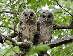 Barred Owl Siblings (barbmerrill2) Tags: bird owl byfield massachusetts strixvaria