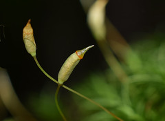 moss spore pod (jmunt) Tags: moss sporepods