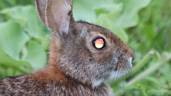 Psychedelic Eye (blazer8696) Tags: eye eyes img0655 psychedelic brookfield connecticut unitedstates 2019 bunny cottontail ct eastern easterncottontail ecw floridanus obtusehill rabbit sylvilagus sylvilagusfloridanus t2019 tabledeck usa
