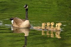 DSC_0346 (Putneypics) Tags: brantacanadensis canadagoose branta goose breeding young gosling brood sandhillroad putney vermont putneypics jerryhiam wildlife photography