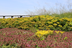 Green Roof on Howlett Hall (dankeck) Tags: yellow flowers ohio ohiostate theohiostateuniversity osu columbus franklincounty centralohio arboretum greenroof howletthall horticulture