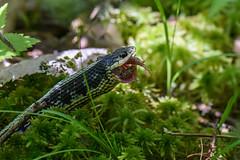 Eastern Garter Snake (Thamnophis sirtalis sirtalis) (J Sommer) Tags: deltacounty easterngartersnake michigan ranasylvatica reptile snake thamnophissirtalissirtalis woodfrog amphibian