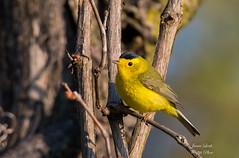 Wilson's Warbler (Jamie Lenh Photography) Tags: nature wildlife birds warblers wilsonwarbler yellow nikon tamron spring ontario canada